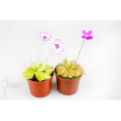 Pinguicula Starter package 2