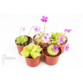 Vetblad 'Pinguicula Starter Package 5'