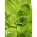 Bromelia 'Pitcairnia tabuliformis'