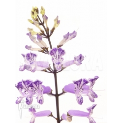 Plectranthus mona purple