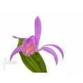 Orchidee 'Pleione formosana purple'