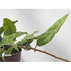 Pleopeltis species Costa-Rica