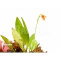 Orchidee 'Pleurothallis glandulosa'