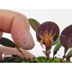 Pleurothallis orbicularis 'Trichosalpinx orbicularis'