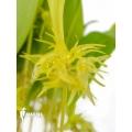 Orchidee 'Pleurothallis ruscifolia'