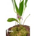 Orchidee 'Pleurothallis secunda'
