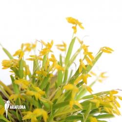 Pleurothallis sonderiana