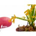 Orchidee 'Pleurothallis sonderiana 'Starter''