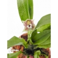 Orchidee 'Promenaea rollisonii'
