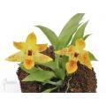 Orchidee 'Promenaea x (Sunlight)'