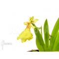 Orchidee 'Psygmorchis pusilla'