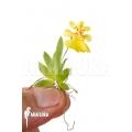 Orchidee 'Psygmorchis pusilla' 'S'