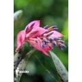 Bromelia 'Quesnelia marmorata'