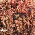 Red Sphagnum '1 litre' 'Potting media'