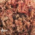 Red spaghnum (1 litre)