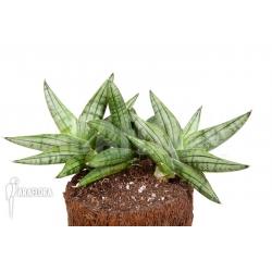 Sanseveria cylindrica 'Grey Jade'