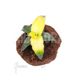 Sanseveria x bananarama