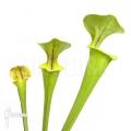 Trompet bekerplant ´Sarracenia flava (M)'