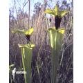Trompet bekerplant ´Sarracenia flava var. Rugelii (020020)'