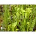 Trompet bekerplant ´Sarracenia flava'