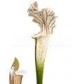 Trompet bekerplant 'Sarracenia leucophylla 'Red Line'