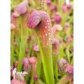 Trompet bekerplant 'Sarracenia minor' 'starter'