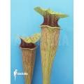 Trompet bekerplant ´Sarracenia oreophila (Dark clone)'