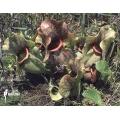 Trompet bekerplant ´Sarracenia purpurea ssp venosa 'Burkii' (050038)'