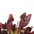 Trompet bekerplant ´Sarracenia purpurea var. Purpurea'