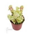 Trompet bekerplant 'Sarracenia purpurea var venosa 'White Ghost'' 'Starter'