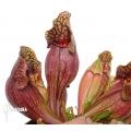 Trompet bekerplant ´Sarracenia purpurea var. purpurea (XL)'