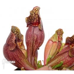 Sarracenia purpurea var. purpurea (XL)