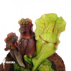 Sarracenia purpurea var. venosa (M)
