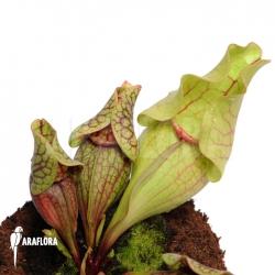 Sarracenia purpurea var. venosa