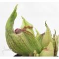 Trompet bekerplant Sarracenia purpurea (Smurf)
