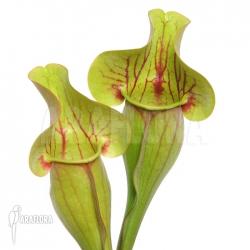 Sarracenia x purpurea hybrid C