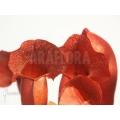 Trompet bekerplant ´Sarracenia x purpurea (Barbapapa)'