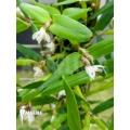 Miniatuur orchidee 'Scaphyglottis prolifera'