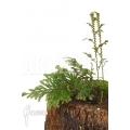 Selaginella griffithii Suriname
