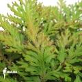 Selaginella mollis