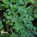 Selaginella uncinata 'starter'