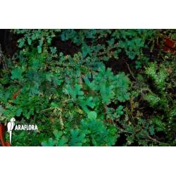 Selaginella uncinata
