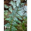 Selaginella willdenowii 'Peacock fern' starter