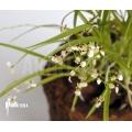 Orchidee 'Sigmatostalix radicans'