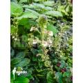 Sinningia curtiflora