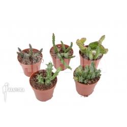 Stapelia Araflora set 5 unsorted