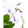 Streptocarpus pallidiflorus