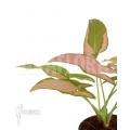 Syngonium podophyllum 'pink' variegated