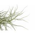 Bromelia 'Tillandsia arhiza´