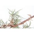 Bromelia 'Tillandsia bandensis'